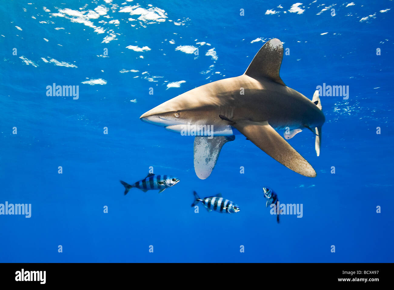 Oceanic Whitetip Shark with Pilot Fish Carcharhinus longimanus Naucrates ductor Pacific Ocean Hawaii USA - Stock Image