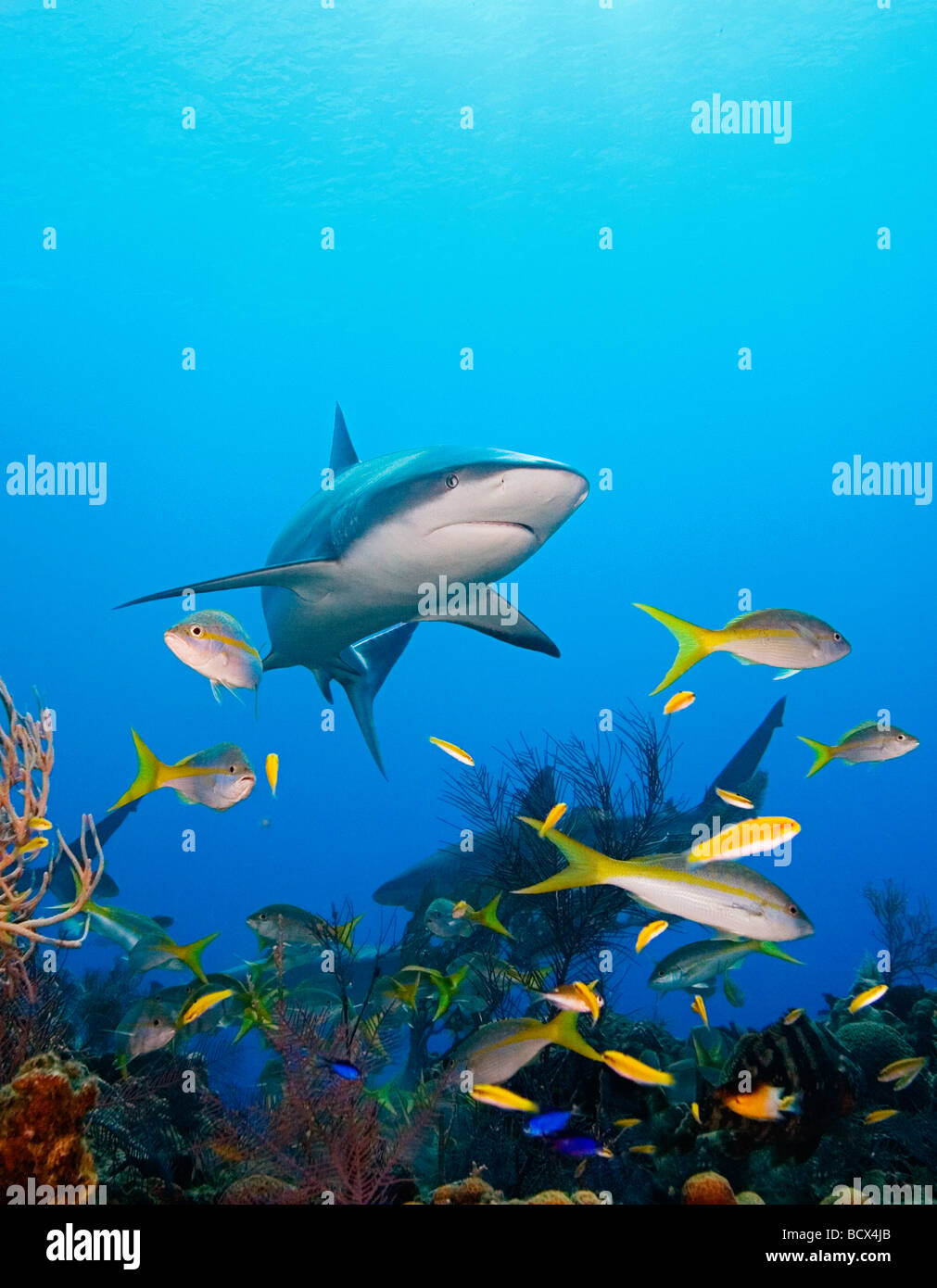 Caribbean Reef Sharks over coral reef Carcharhinus perezi West End Atlantic Ocean Bahamas USA - Stock Image