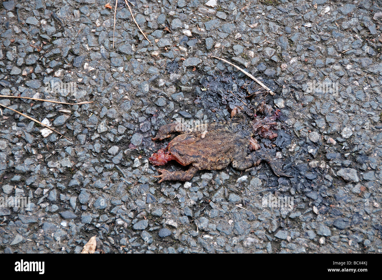 Frog run over on road - Stock Image