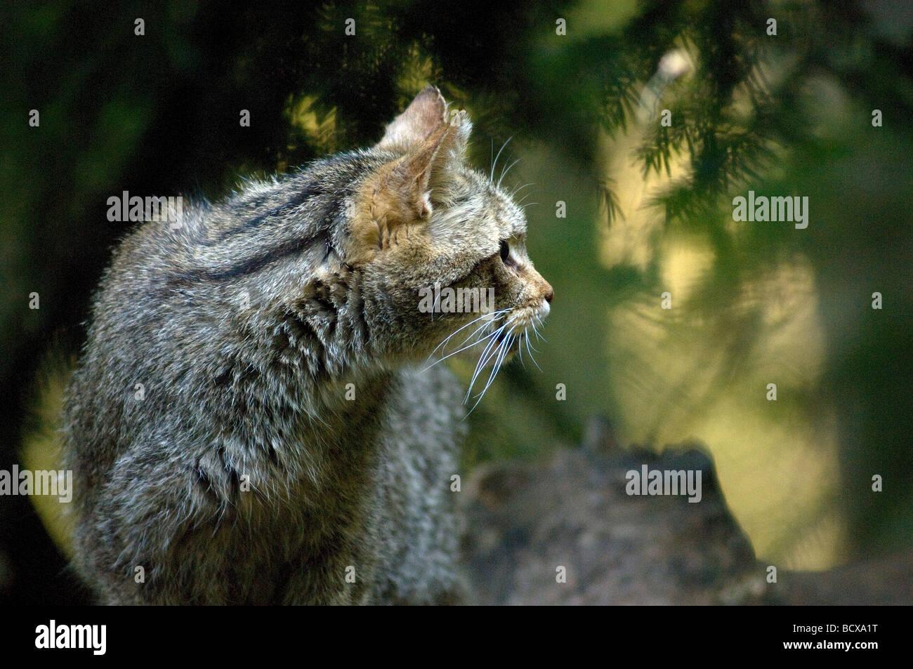 gatto selvatico wild cat Felis silvestris felini bosco Bayerische Wald Germany Stock Photo