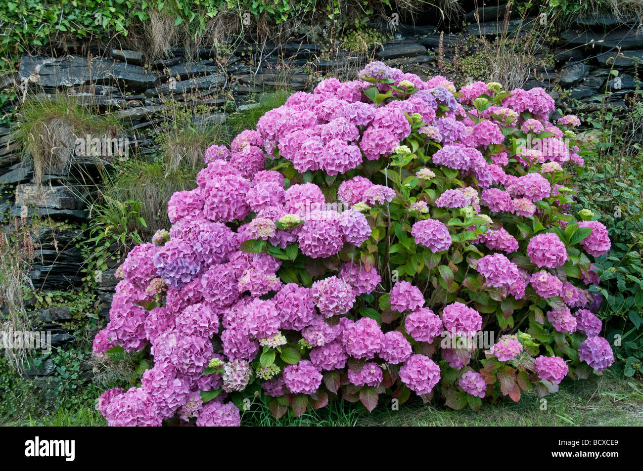 Hydrangea:  naturalised in Cornwall England - Stock Image