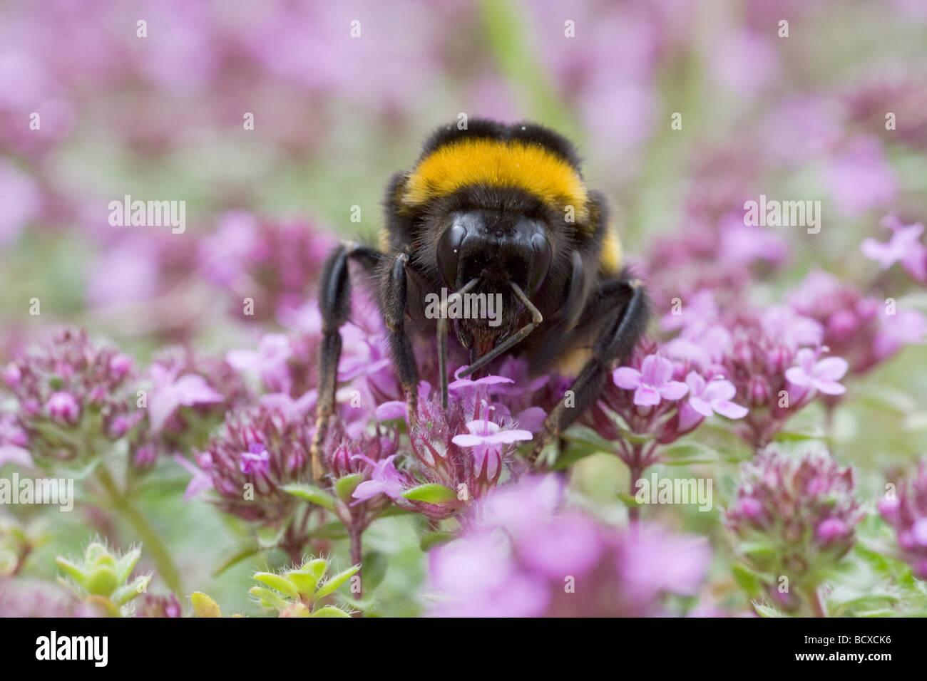 Buff tailed Bumblebee Feeding on Thyme Bombus terrestris Essex UK IN000775 - Stock Image