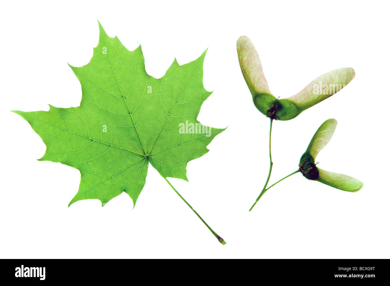 Green maple leaf isolated on white - Stock Image