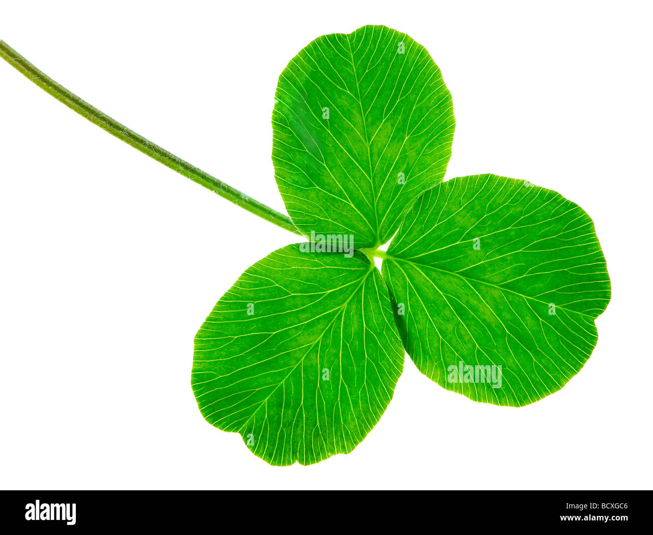 clover isolated on a white background - Stock Image