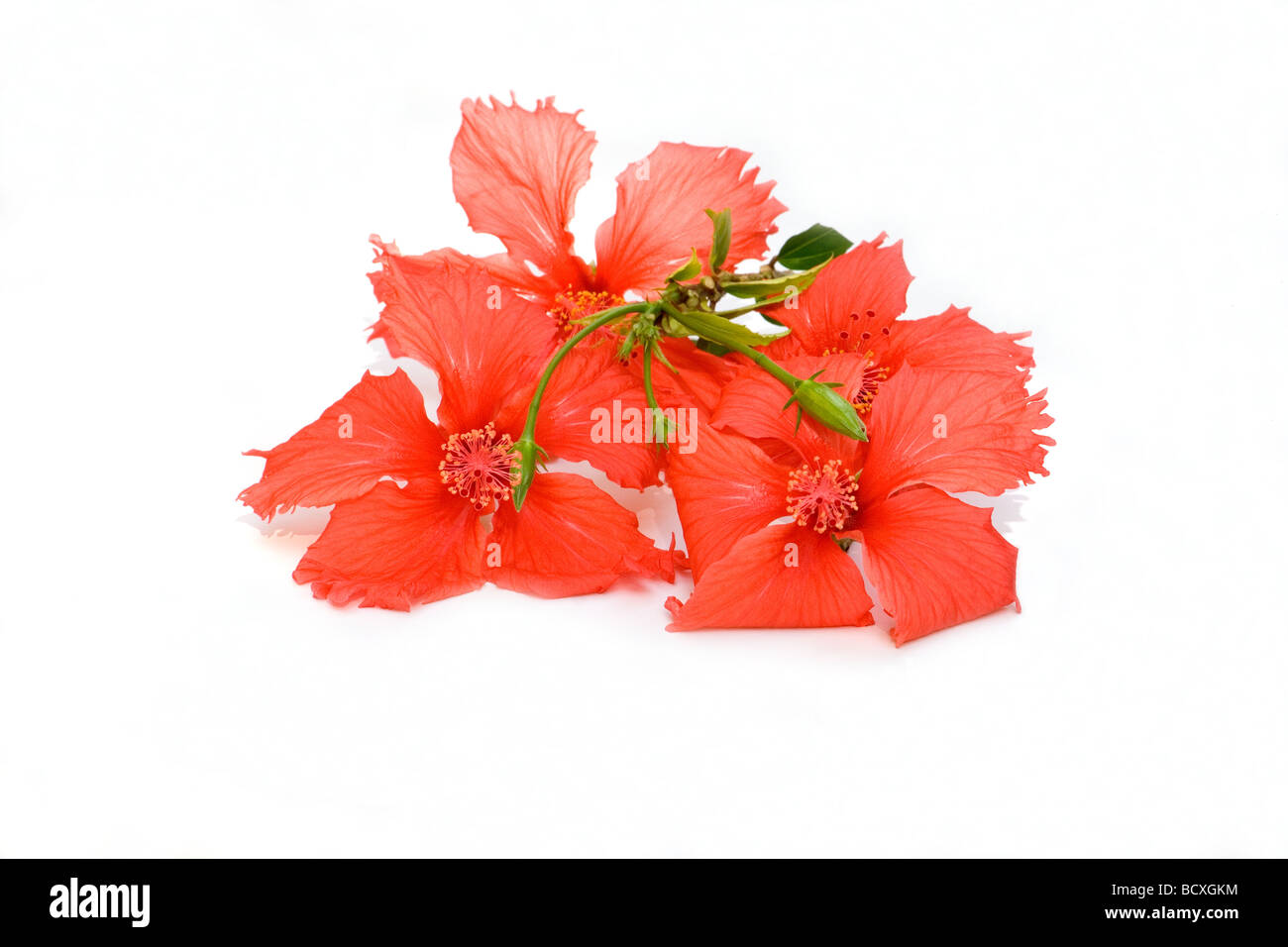 Buds of hibiscus flower stock photos buds of hibiscus flower stock close up of red hibiscus flower on white background stock image izmirmasajfo