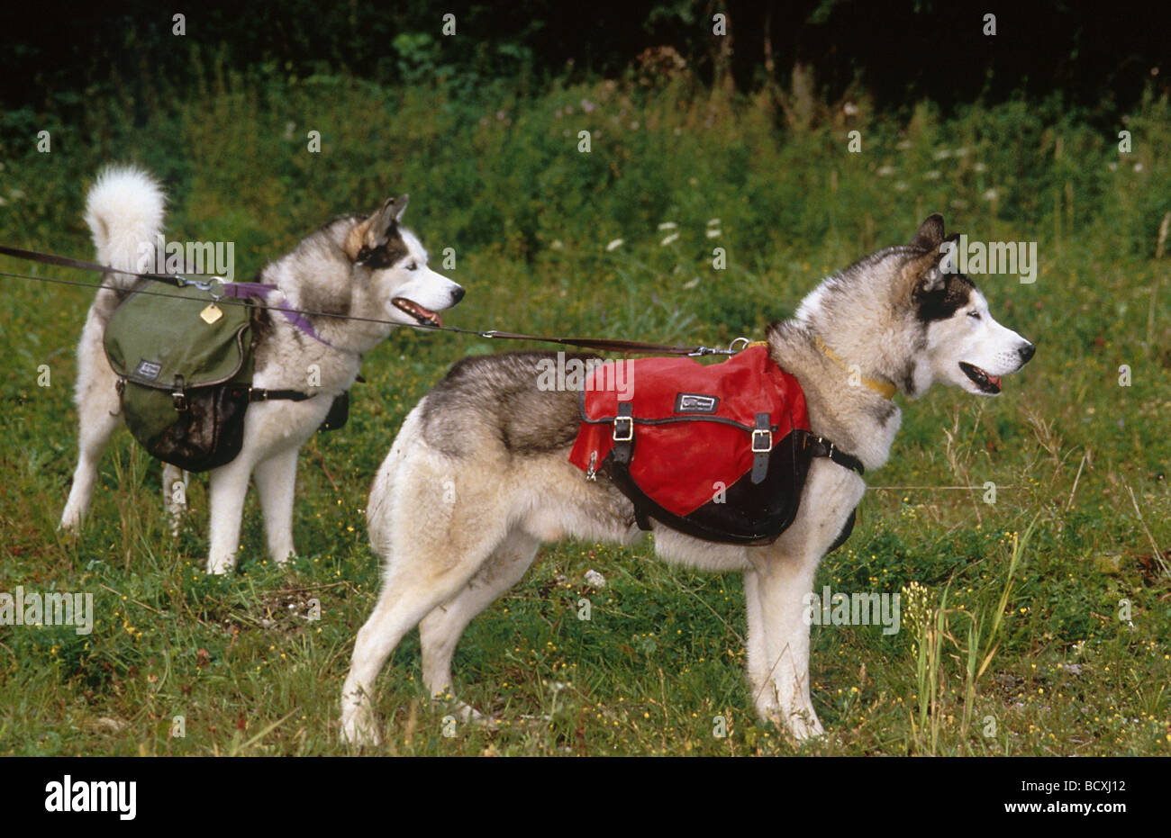 a6c354fdf2 2 Husky Malamute Stock Photo  25171134 - Alamy