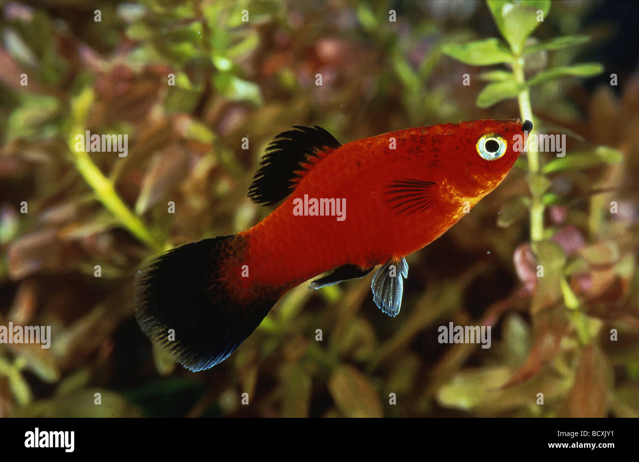 Platy Fish Stock Photos & Platy Fish Stock Images - Page 2 - Alamy