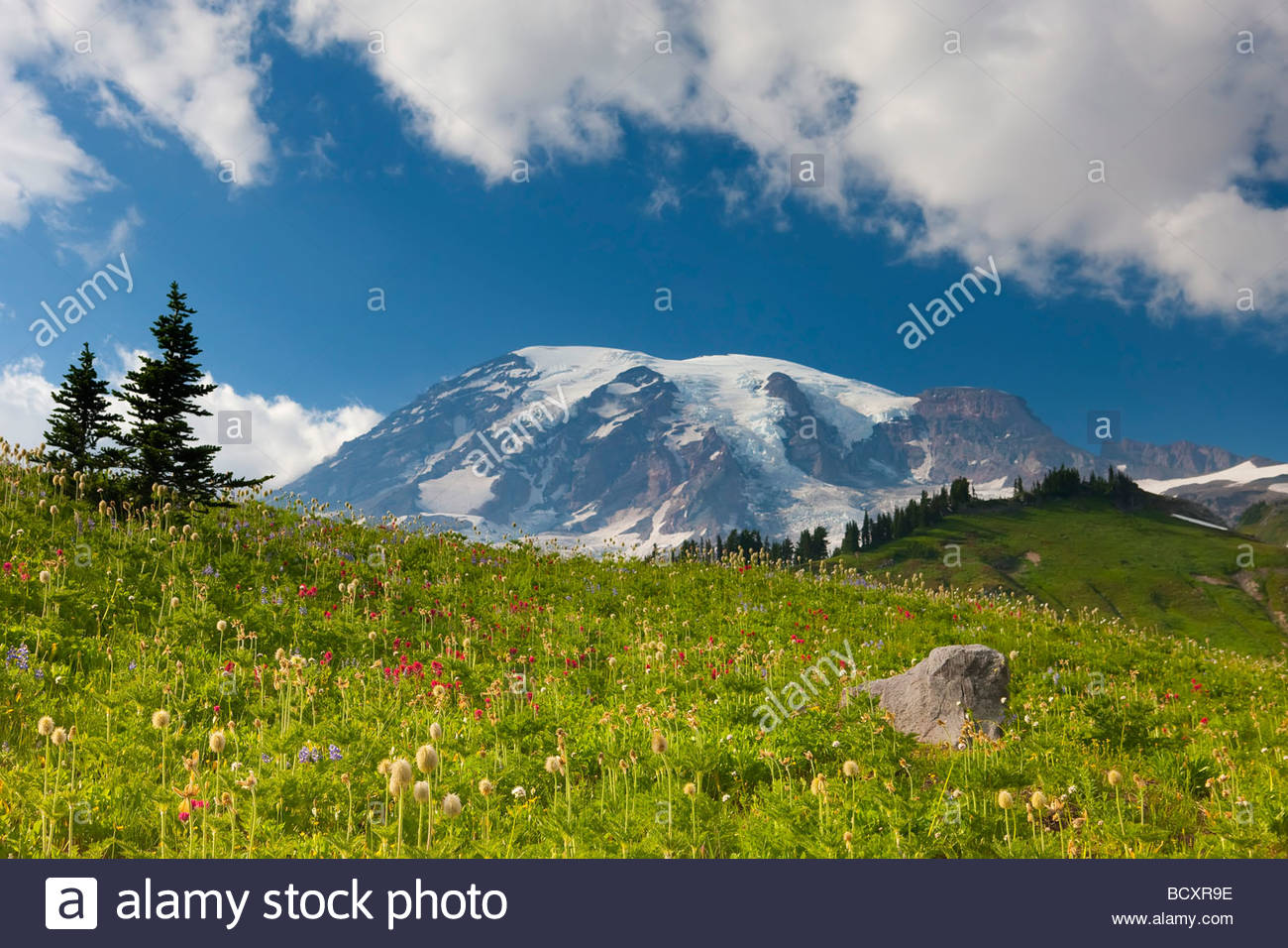 Summer wildflowers blanket the alpine meadows of Paradise in Mount Rainier National Park, Washington. - Stock Image