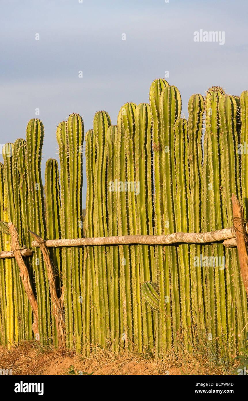 Fence made of living cactus plants near Mazatlan, Mexico Stock Photo