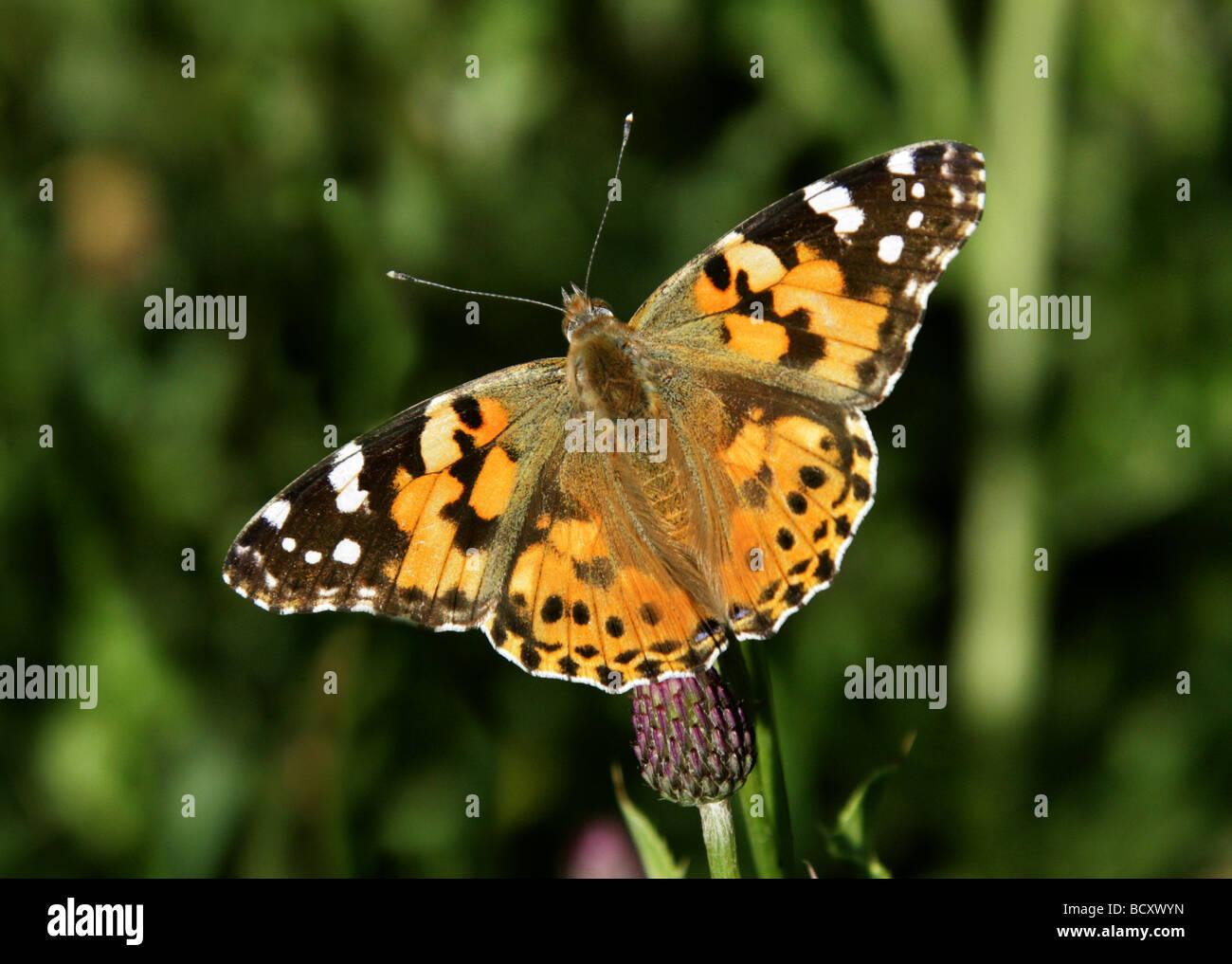 Painted Lady Butterfly, Vanessa cardui, Nymphalidae, Lepidoptera. Feeding on Sawwort, Serratula tinctoria, Asteraceae - Stock Image