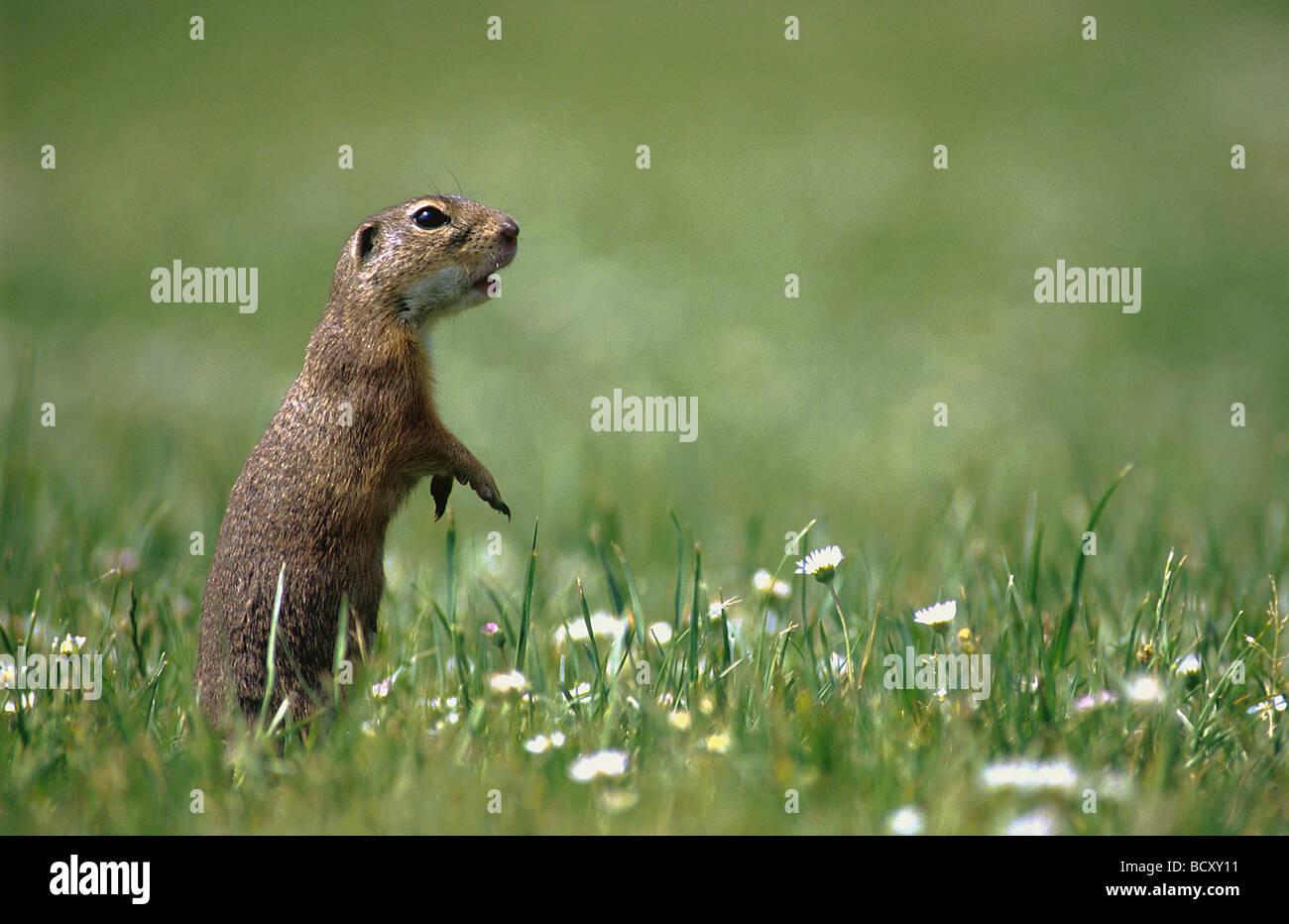 Citellus / Spermophilus / ground squirrels , susliks , sousliks Stock Photo