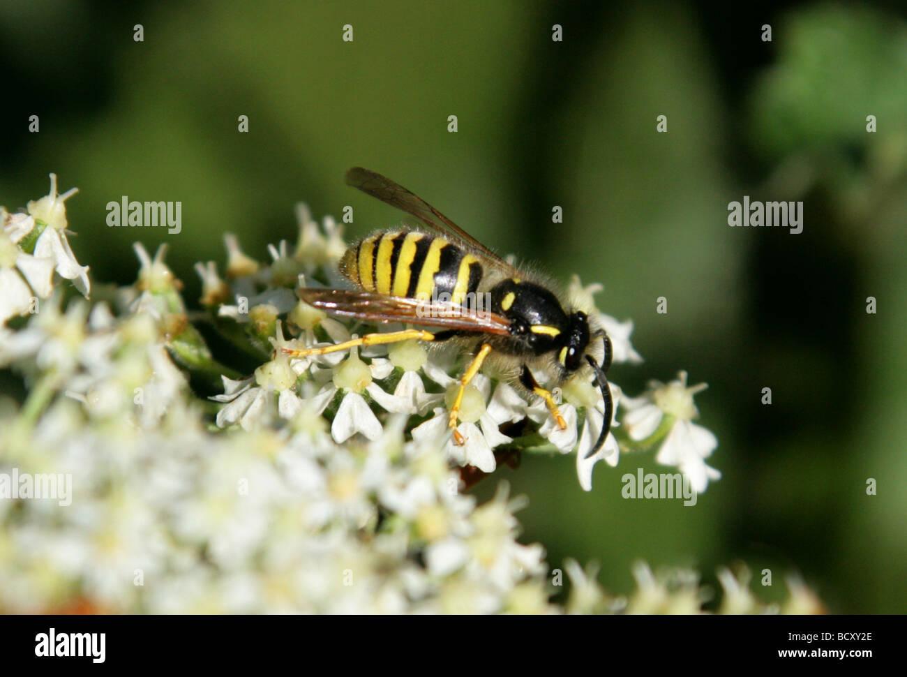 Common Wasp, Vespula vulgaris, Vespidae, Vespoidea, Hymenoptera - Stock Image