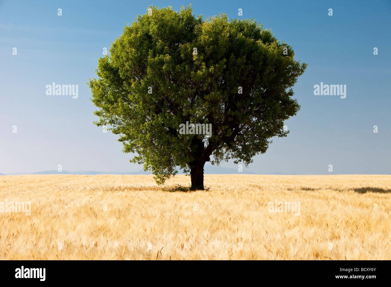 Barley field and tree near Valensole France - Stock Image