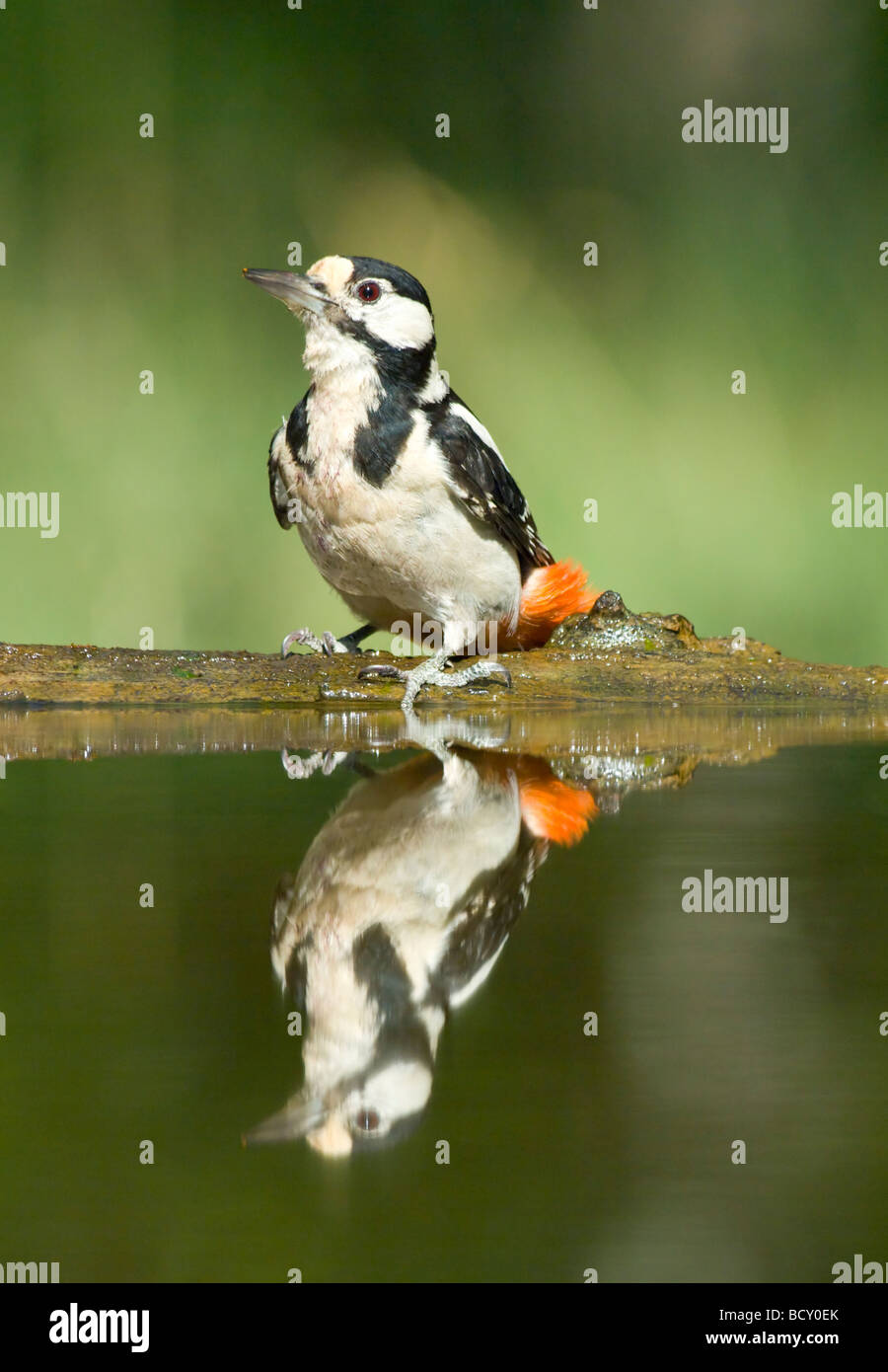 Great Spotted Woodpecker Dendrocopos major Hungary - Stock Image