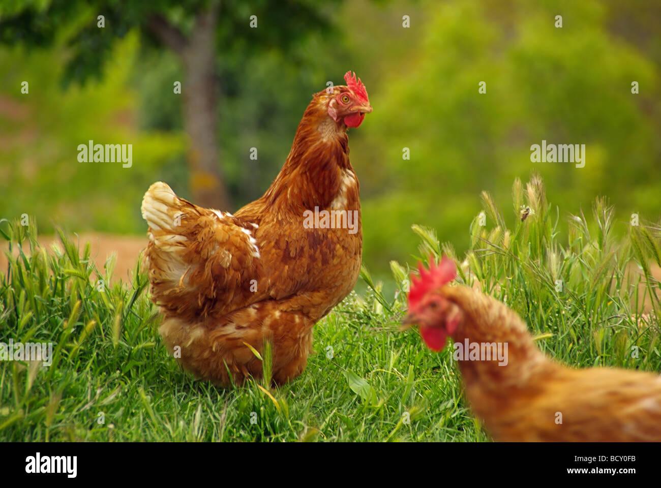 Huhn chicken 01 - Stock Image