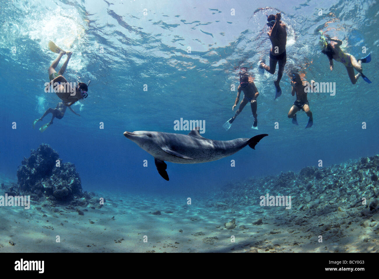 Snorkelers interacting with wild Bottlenose Dolphin Tursiops truncatus Nuweiba Egypt Red Sea - Stock Image