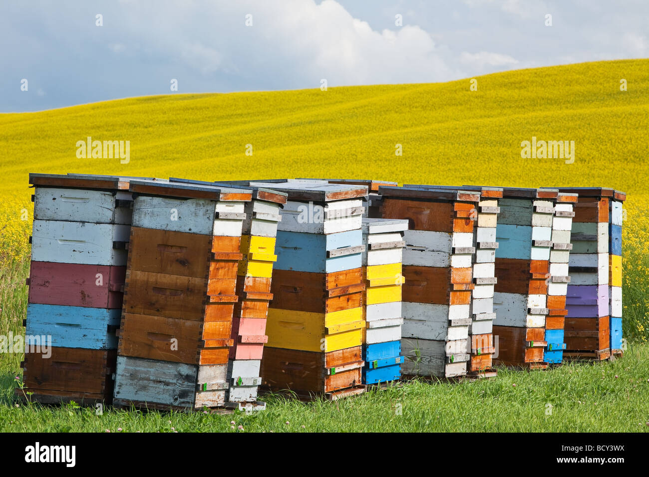 Honey Beehives, in colored hive boxes, Canola field crop in background.  Pembina Valley, Manitoba, Canada. - Stock Image
