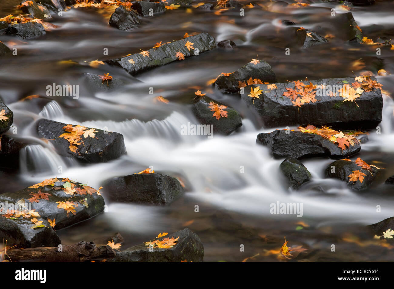 Fallen maple leaves in Bridal Veil Creek Columbia River Gorge National Scenic Area Oregon - Stock Image