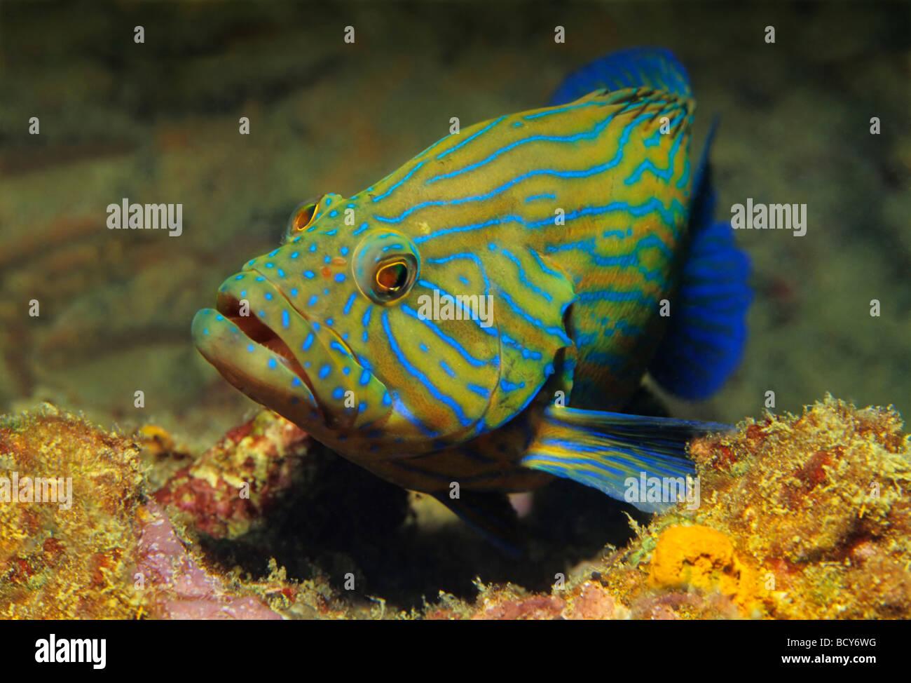 Blue stripe grouper (Cephalopholis formosa) in coral reef, Similan Islands, Andaman Sea, Thailand, Asia, Indian - Stock Image