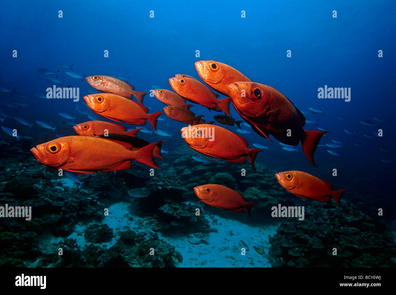 School of big-eye perches (Priacanthus hamrur) in a coral reef, Similan Islands, Andaman Sea, Thailand, Asia, Indian - Stock Image