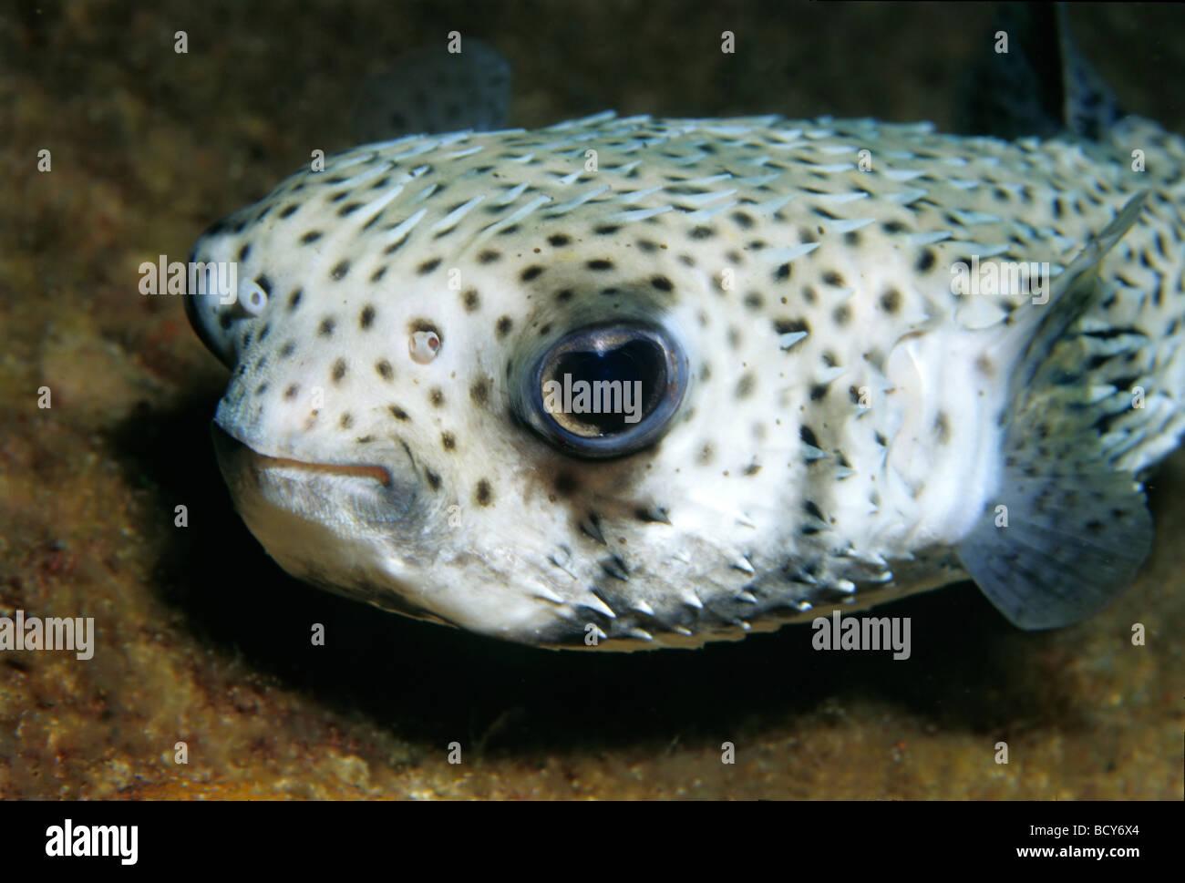 Spot-fin Porcupinefish (Diodon hystrix), fish, portrait, Similan Islands, Andaman Sea, Thailand, Asia, Indian Ocean - Stock Image