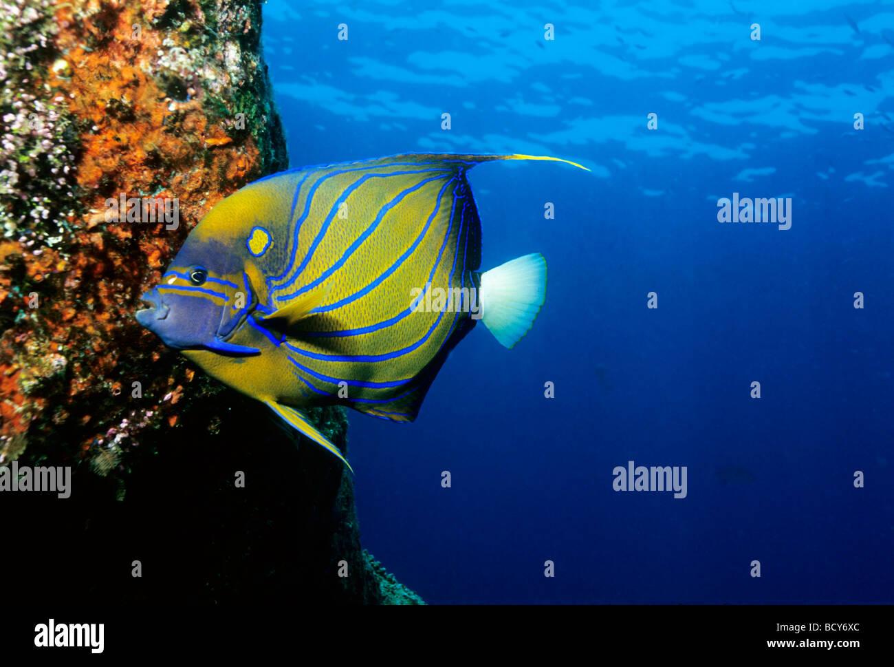 Blue-Ring Angelfish (Pomacanthus annularis) feeding on red fungi, Similan Islands, Andaman Sea, Thailand, Asia, - Stock Image