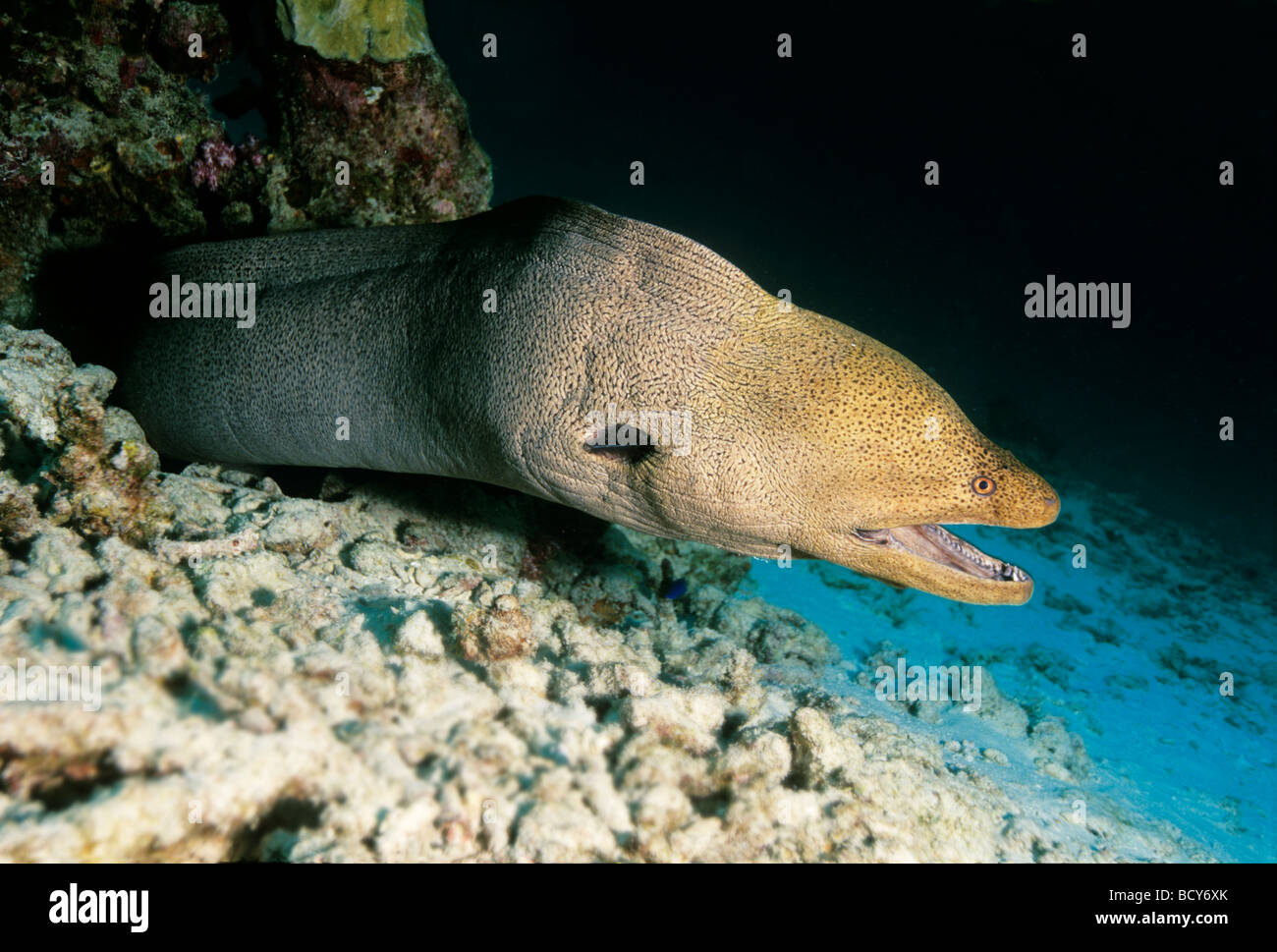 Giant moray (Gymnothorax javijancus) in its hideout, dangerous, Similan Islands, Andaman Sea, Thailand, Asia, Indian Stock Photo