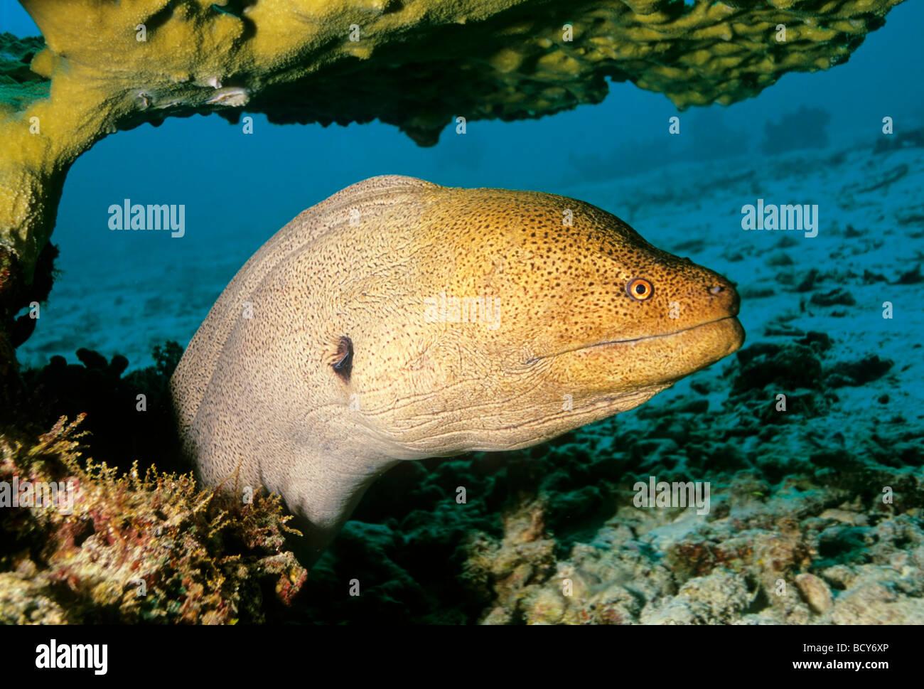 Giant moray (Gymnothorax javijancus) in its hideout, dangerous, Similan Islands, Andaman Sea, Thailand, Asia, Indian Stock Photo