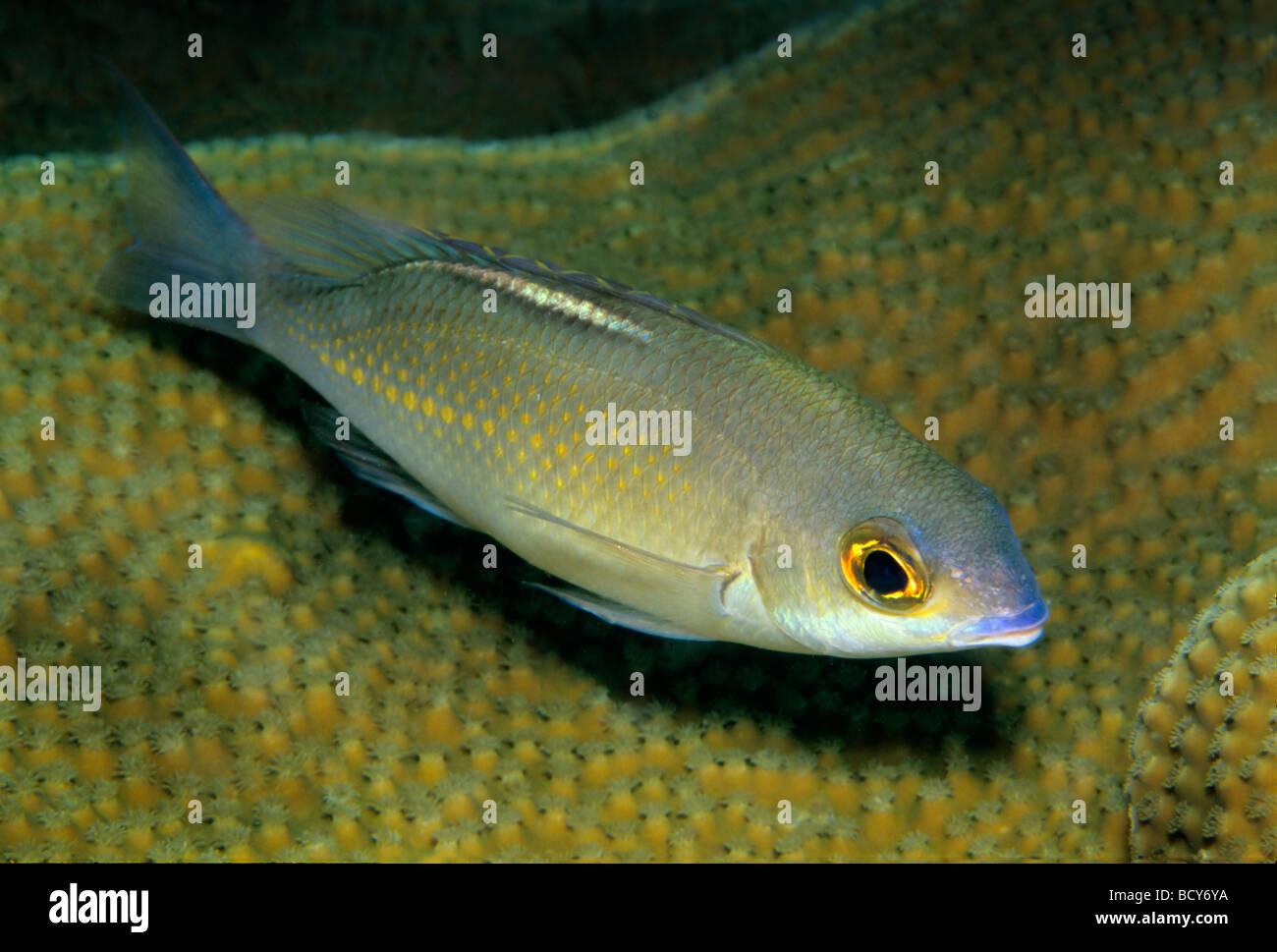 Goldband Fusilier (Pterocaesio chrysozona) resting on corals, night time, Similan Islands, Andaman Sea, Thailand, - Stock Image
