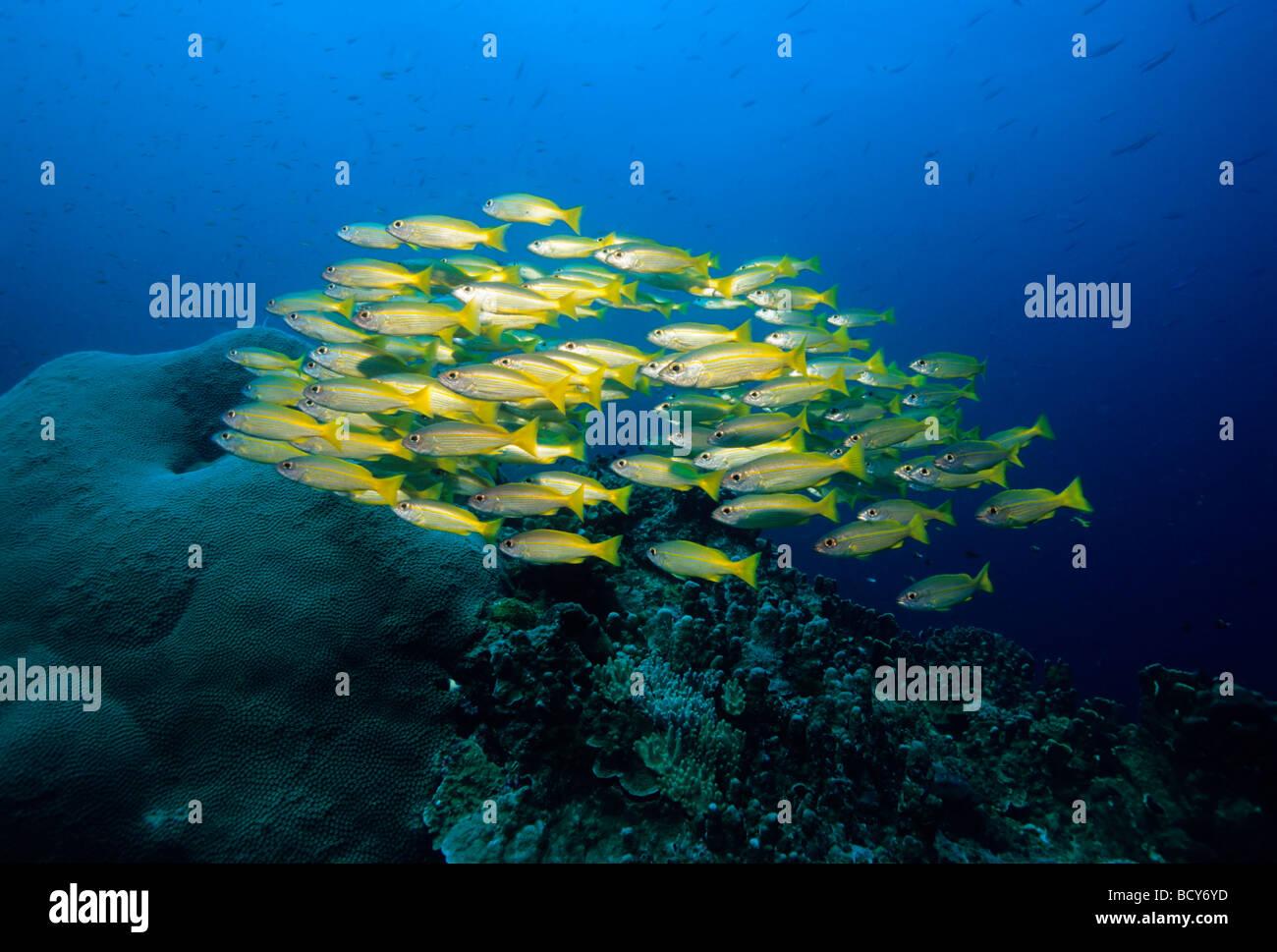 School of Goldband Fusiliers (Pterocaesio chrysozona), Similan Islands, Andaman Sea, Thailand, Asia, Indian Ocean - Stock Image