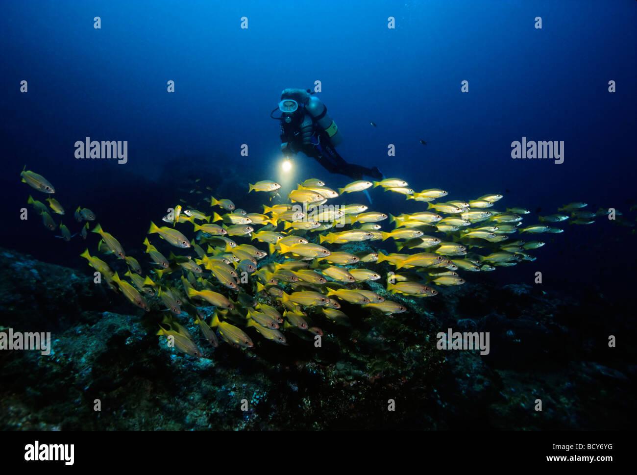 Diver observing school of Goldband Fusiliers (Pterocaesio chrysozona), Similan Islands, Andaman Sea, Thailand, Asia, - Stock Image