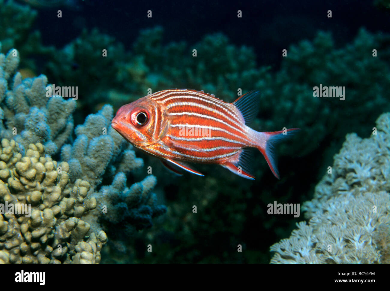 Crowned Squirrelfish (Sargocentron diadema) swimming over coral reef, Similan Islands, Andaman Sea, Thailand, Asia, - Stock Image