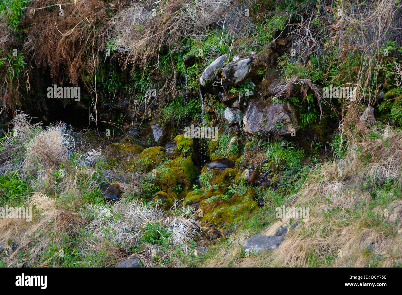 A NATURAL SPRING seeps from volcanic rock along the wild and scenic OWYHEE RIVER EASTERN OREGON - Stock Image