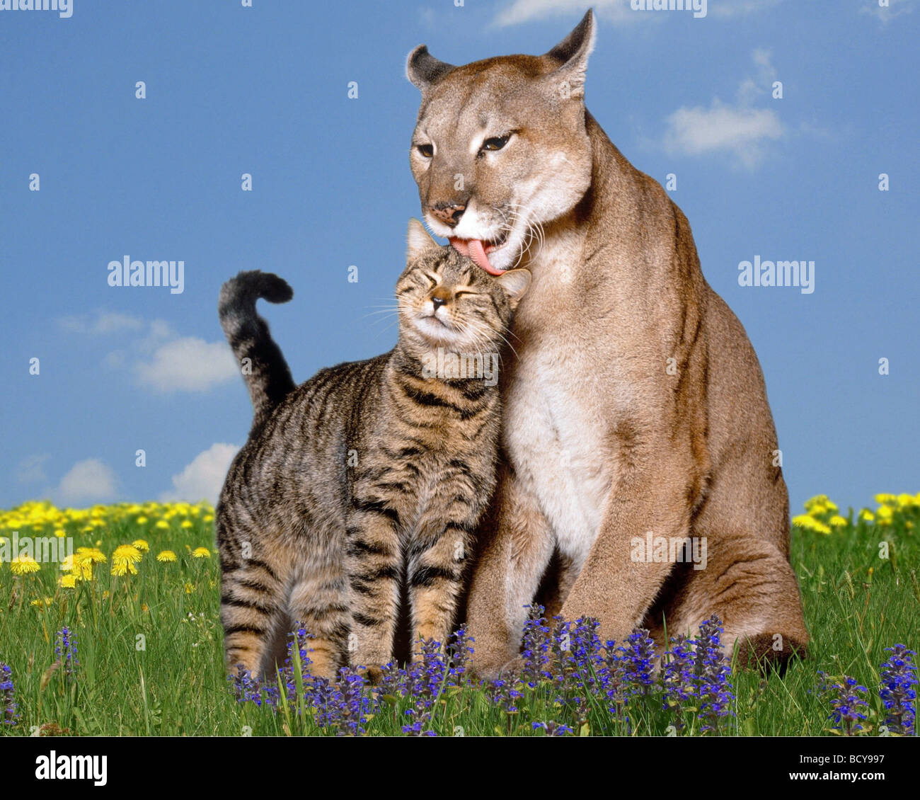 cougar and domestic cat Stock Photo: 25186259 - Alamy - photo#42