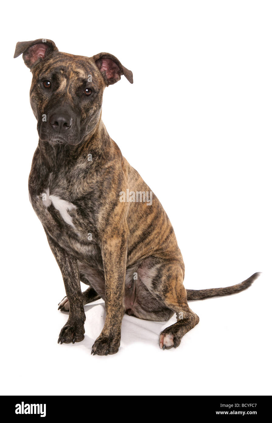 half breed dog (Staffordshire Bull Terrier) - sitting - cut out - Stock Image