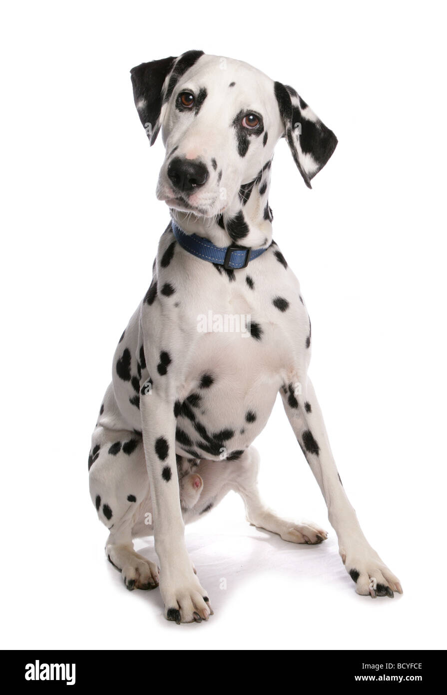Dalmatian dog - sitting - cut out - Stock Image
