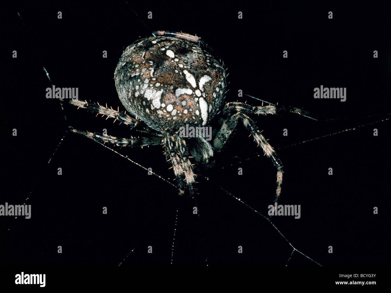 araneus diadermatus / cross orbweaver , spider - Stock Image