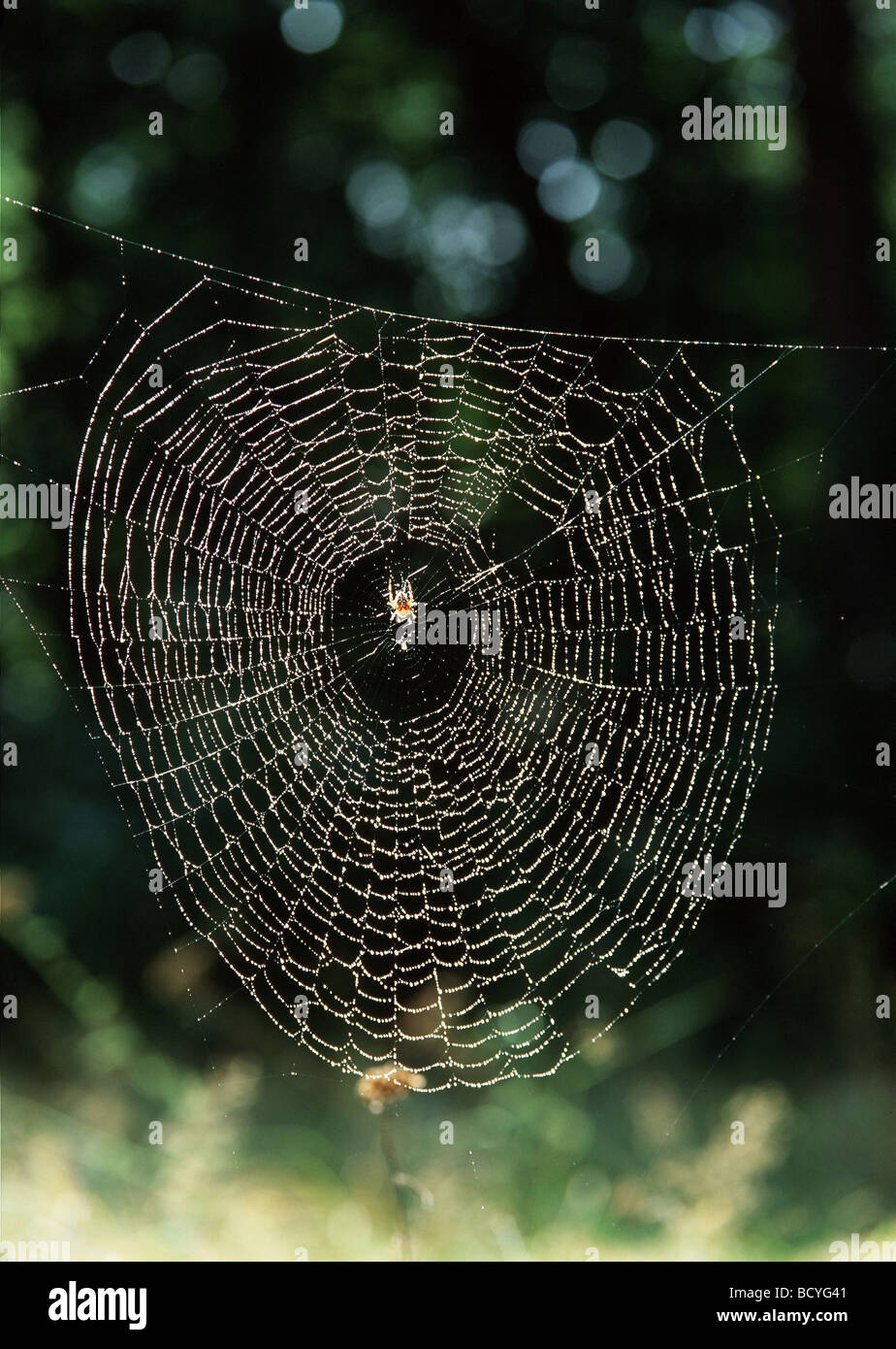 araneus diadematus / cross orbweaver , spider - Stock Image