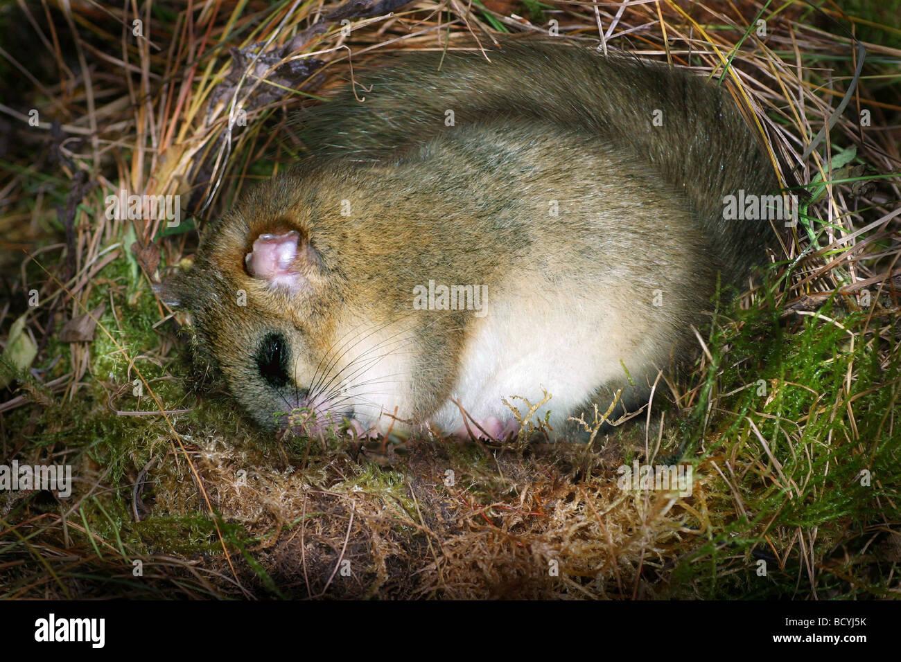 Common Dormouse, Hazel Dormouse (Muscardinus avellanarius) sleeping in its nest during hibernation. - Stock Image