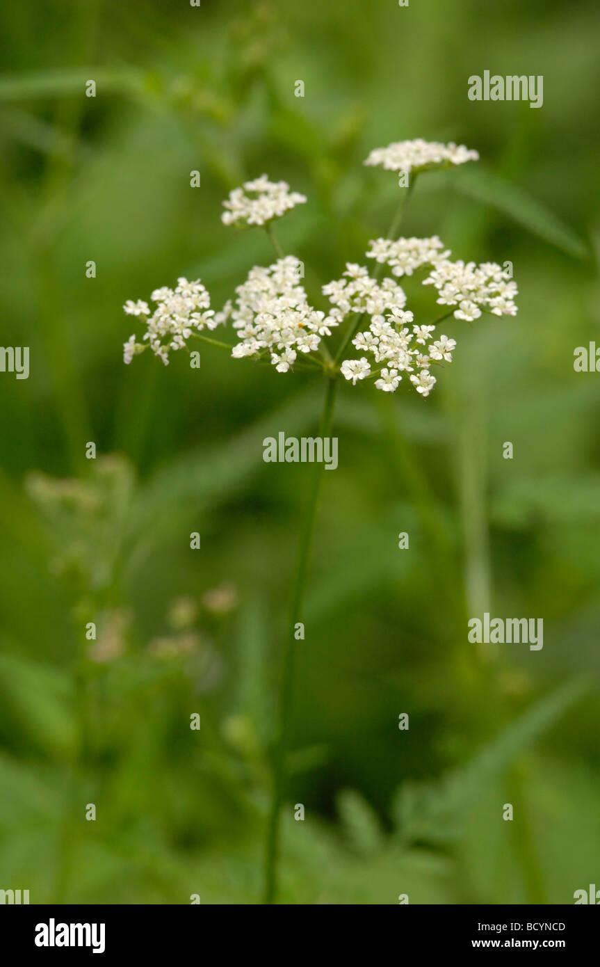 Upright Hedge-parsley, torilis japonica, wildflower, Fleet Valley, Dumfries & Galloway, Scotland - Stock Image