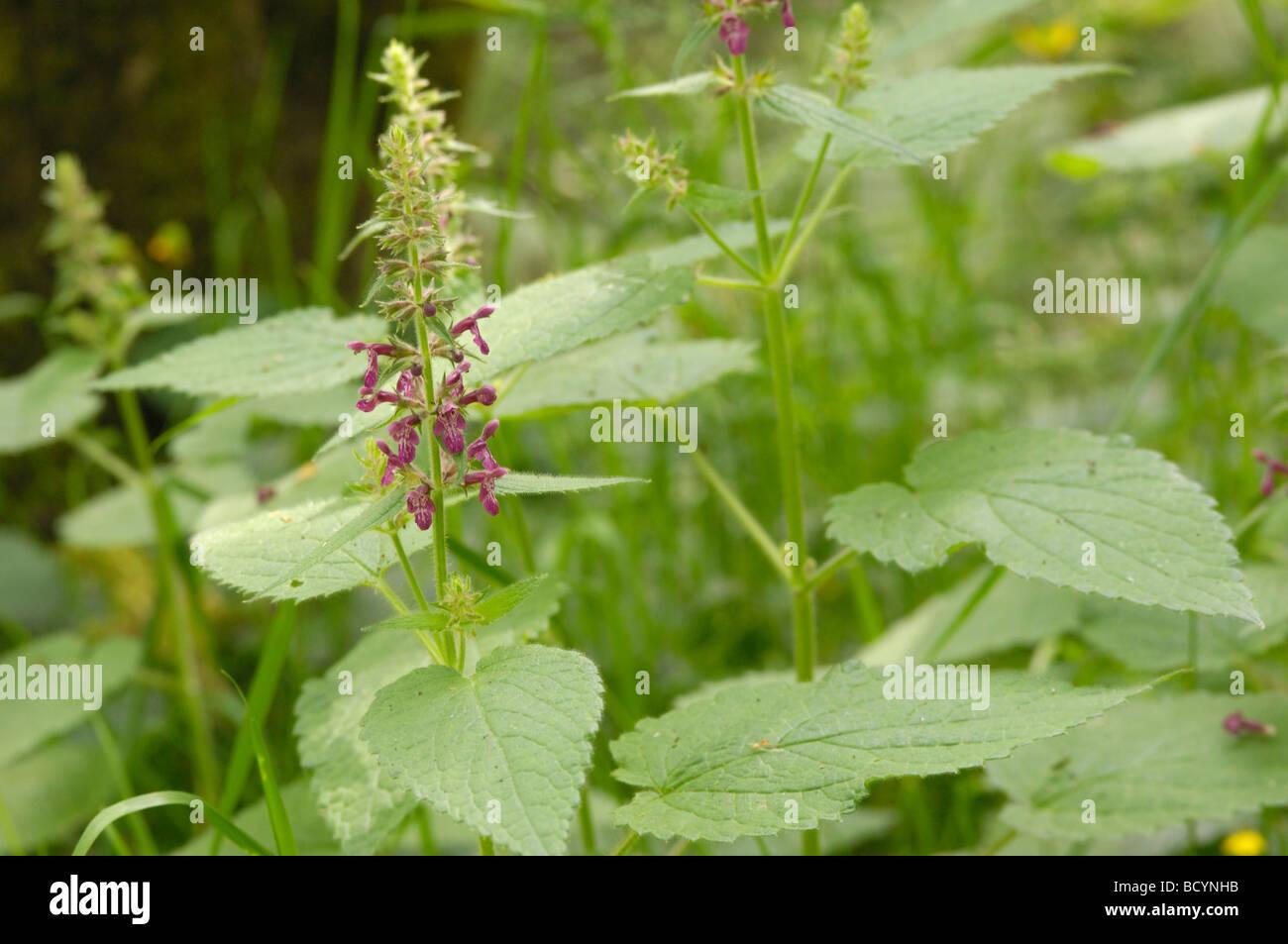 Hedge Woundwort, stachys sylvatica, wildflower, Fleet Valley, Dumfries & Galloway, Scotland - Stock Image