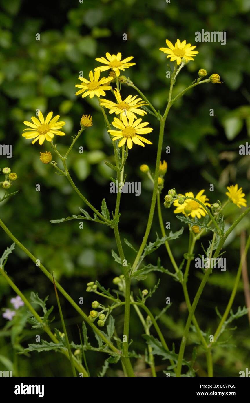 Marsh Ragwort, senecio aquaticus, wildflower, Fleet Valley, Dumfries & Galloway, Scotland - Stock Image
