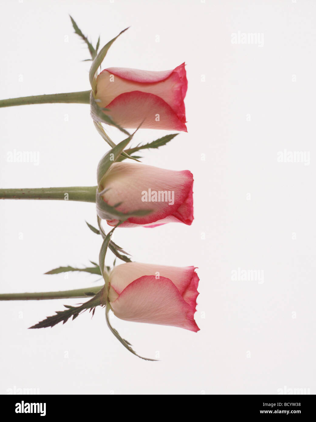 Three rose buds on white background - Stock Image