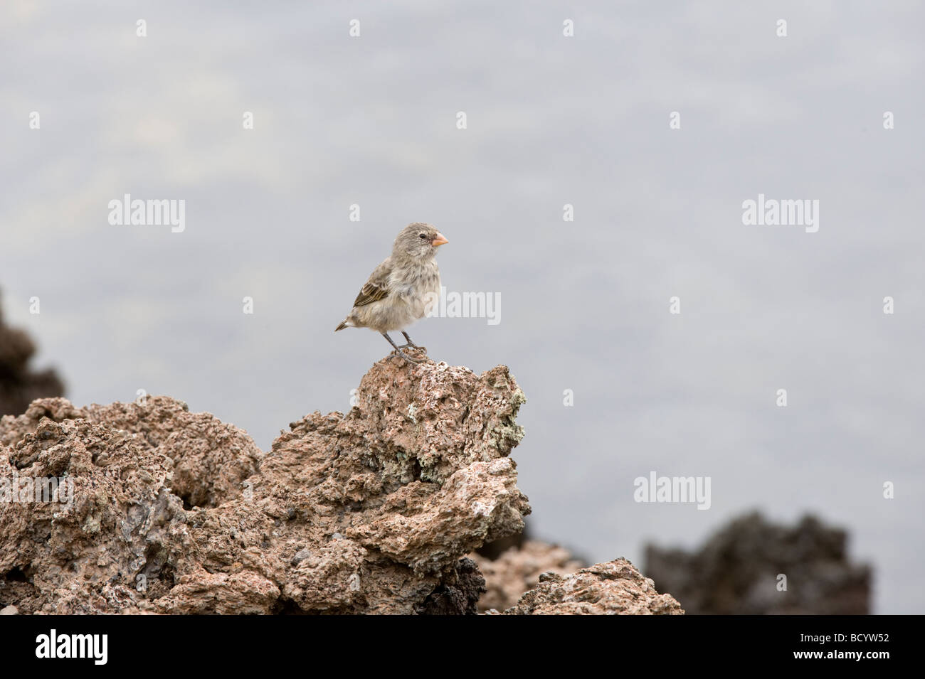 Medium Ground Finch (Geospiza fortis) immature perched on lava rock Punta Albemarle Isabela Galapagos Ecuador Pacific - Stock Image