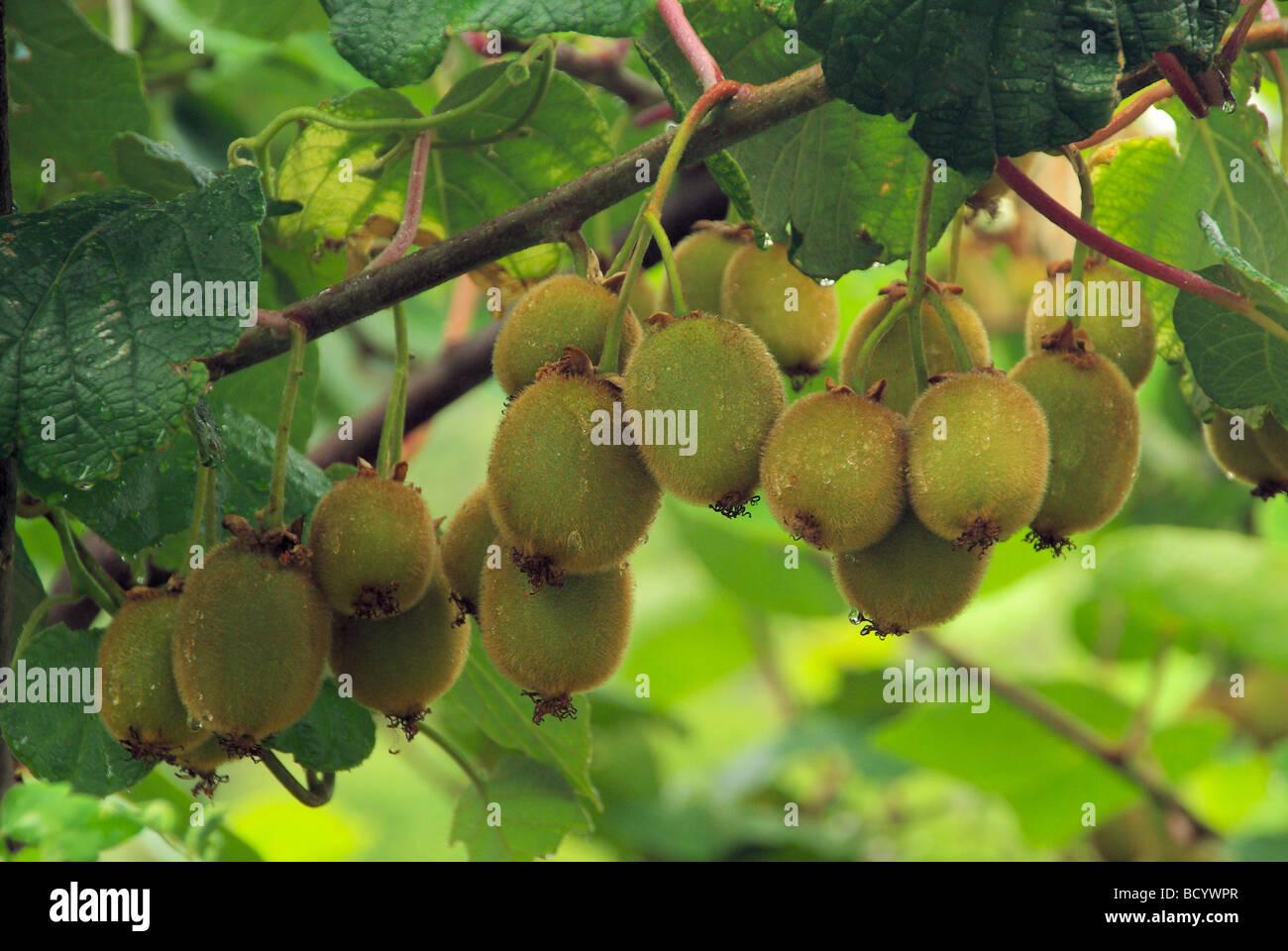 Kiwi am Strauch kiwi on bush 03 - Stock Image