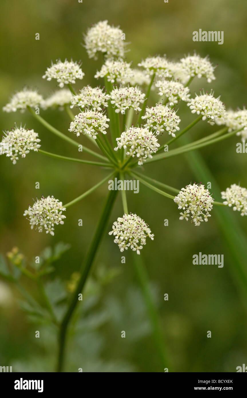 Hemlock Water-dropwort, oenanthe crocata, wildflower along the river Fleet, Dumfries & Galloway, Scotland - Stock Image