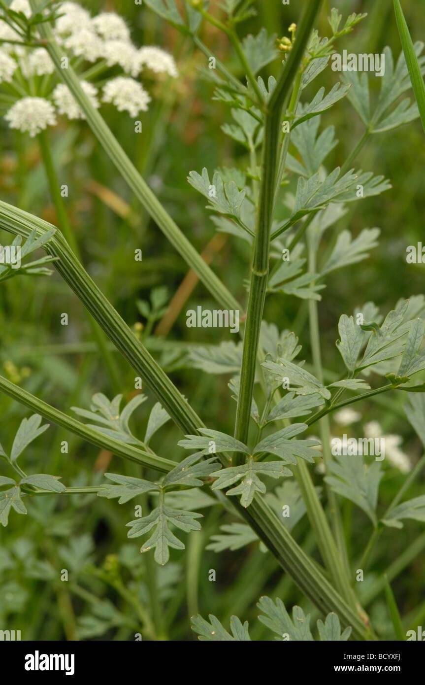 Stem and leaves of the Hemlock Water-dropwort, oenanthe crocata, wildflower along the river Fleet, Dumfries & - Stock Image