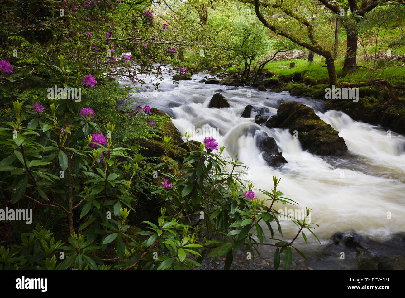 Rododendrons in flower beside the River Colwyn near Beddgelert, Snowdonia National Park, Wales - Stock Image