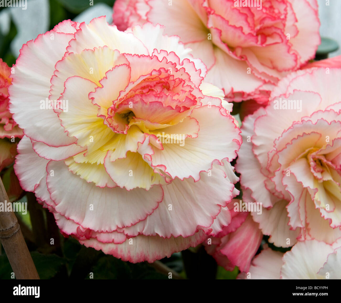 Begonia `Can-Can`. White & pink frilly edge flower. Very elegant - Stock Image