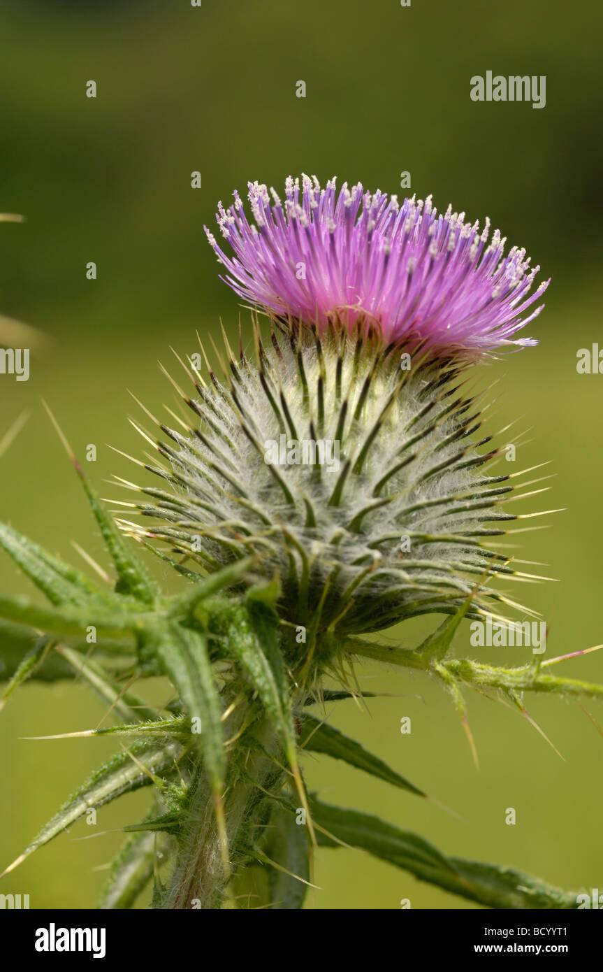 Spear Thistle, cirsium vulgare, wildflower, Fleet Valley, Dumfries & Galloway, Scotland - Stock Image